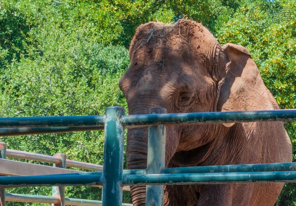 Indijski slon Lanka